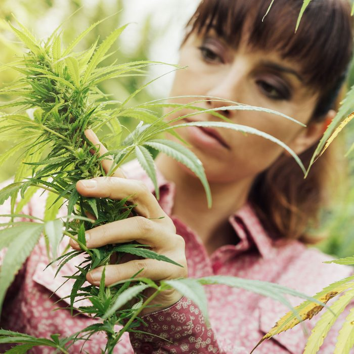 INDUSTRIAL HEMP VS. PREMIUM HEMP FLOWER: IS THERE A DIFFERENCE?